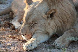 20130505 - Etosha (Ongava) - animals - lion brothers 6