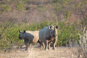 20130506 - Etosha (Ongava) - animals - whito rhino 2