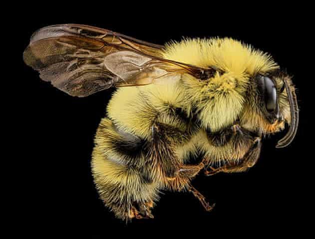A male Bombus bimaculatus bee